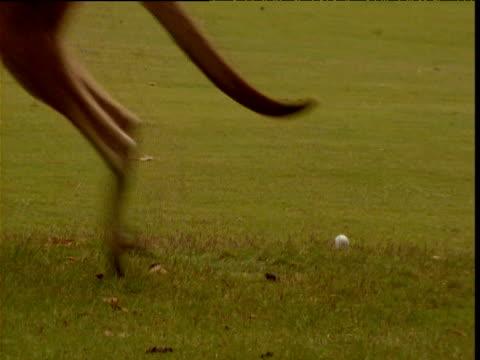 Resting grey kangaroo is disturbed by golfer on golf course, Victoria, Australia