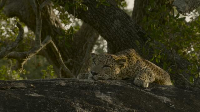 resting leopard, sri lanka. - sri lanka stock videos & royalty-free footage