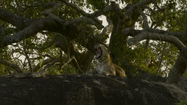 stockvideo's en b-roll-footage met resting leopard, sri lanka. - natuurlijk patroon