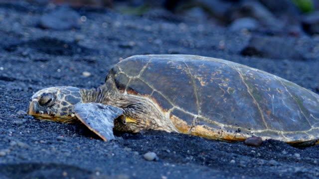 resting sea turtles (big island) - loggerhead sea turtle stock videos & royalty-free footage