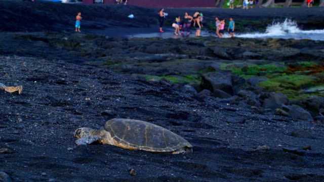 resting sea turtles (big island) - black sand stock videos & royalty-free footage