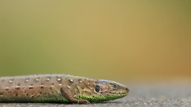 stockvideo's en b-roll-footage met hd resting snake-eyed lizard - textfreiraum