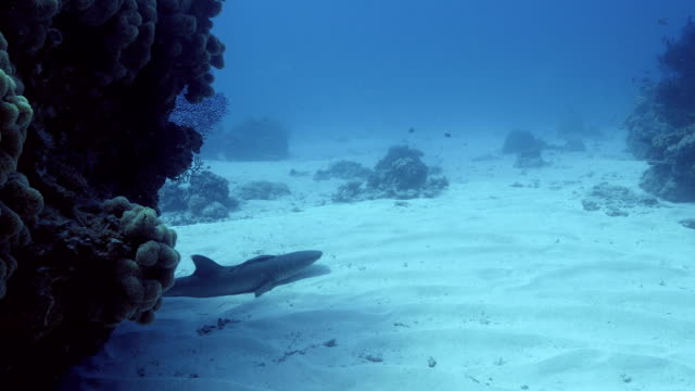 resting whitetip reef shark - whitetip reef shark stock videos and b-roll footage