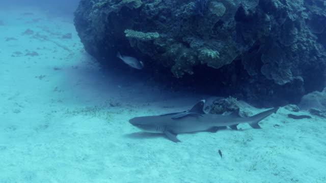 resting whitetip reef shark - whitetip reef shark stock videos & royalty-free footage