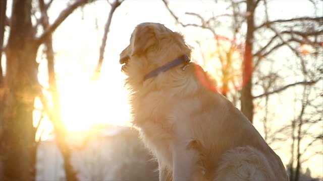 restless golden retriever dog sitting and waiting - retriever stock videos and b-roll footage