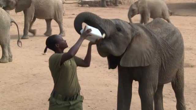 reteti elephant sanctuary in northern kenya is one of few reserves to employ women elephant keepers - elephant stock videos & royalty-free footage