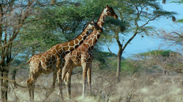 reticulated giraffe & calf samburu  kenya  africa - safari animals stock videos & royalty-free footage