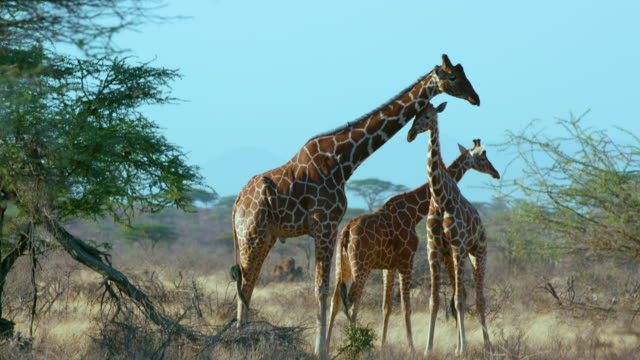 Reticulated Giraffe & Calves Samburu  Kenya  Africa