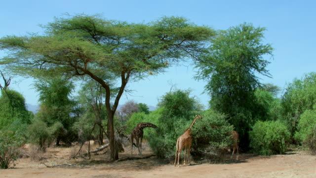 reticulated giraffe grazing samburu  kenya  africa - acacia tree stock videos & royalty-free footage