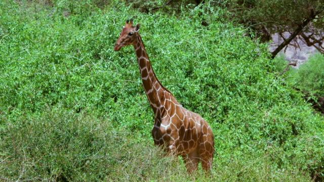 reticulated giraffe grazing samburu  kenya  africa - safari animals stock videos & royalty-free footage