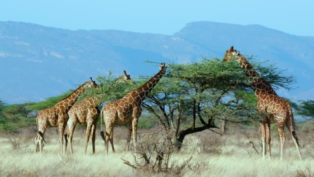 reticulated giraffe grazing samburu  kenya  africa - giraffe stock videos & royalty-free footage