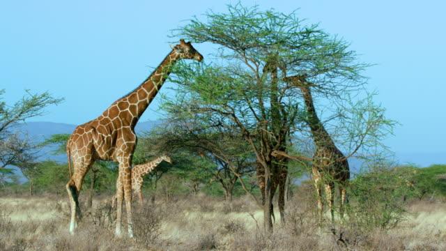vídeos y material grabado en eventos de stock de reticulated giraffe grazing samburu  kenya  africa - jirafa