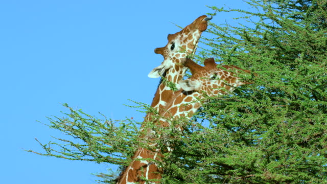 Reticulated Giraffe Grazing Samburu  Kenya  Africa