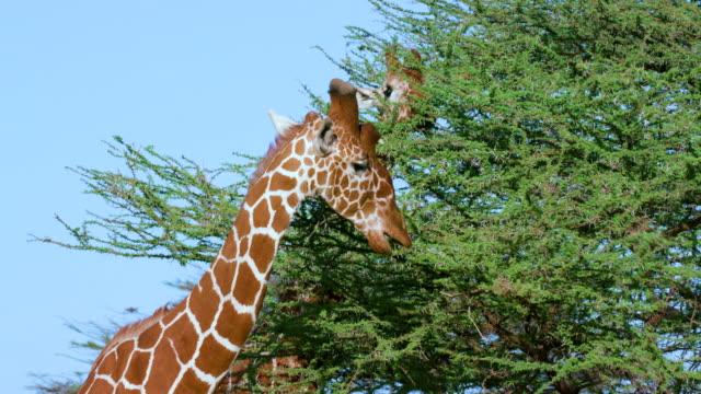 reticulated giraffe grazing samburu  kenya  africa - giraff bildbanksvideor och videomaterial från bakom kulisserna