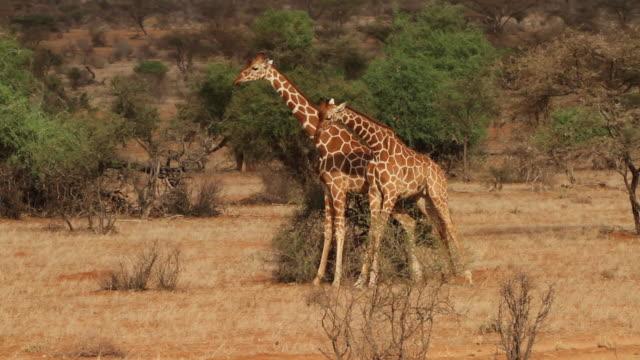 reticulated giraffe (Giraffa camelopardalis reticulata) - males fight