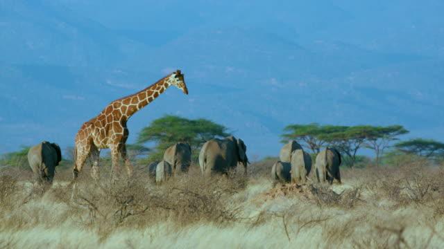 vídeos de stock, filmes e b-roll de reticulated giraffe walking past elephants samburu  kenya  africa - reserva animal