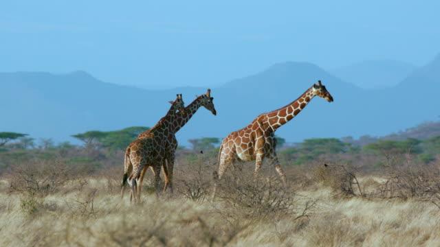 vídeos y material grabado en eventos de stock de reticulated giraffe walking samburu  kenya  africa - cuello de animal
