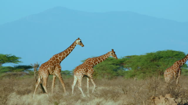 reticulated giraffe walking samburu  kenya  africa - safari animals stock videos & royalty-free footage