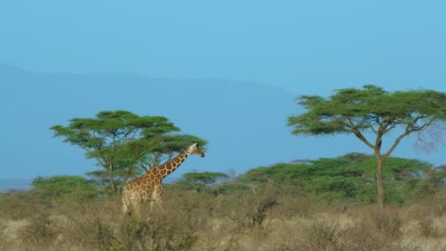 reticulated giraffe walking samburu  kenya  africa - animal neck stock videos & royalty-free footage