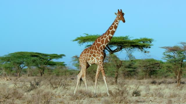 vídeos de stock, filmes e b-roll de reticulated giraffe walking samburu  kenya  africa - girafa