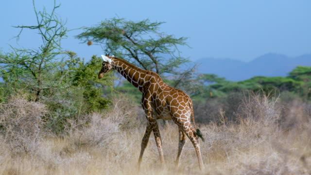 reticulated giraffe walking samburu  kenya  africa - giraffe stock videos and b-roll footage