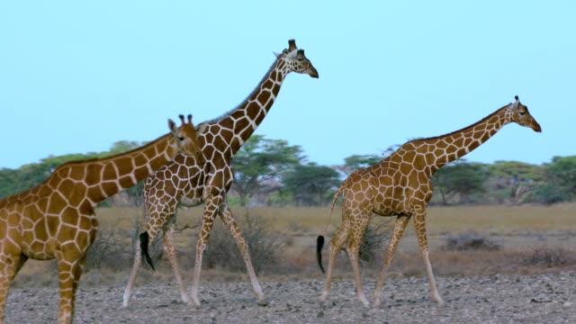 vídeos de stock, filmes e b-roll de reticulated giraffes courting samburu  kenya  africa - girafa