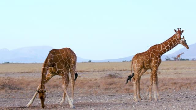 stockvideo's en b-roll-footage met reticulated giraffes feeding samburu  kenya  africa - vier dieren