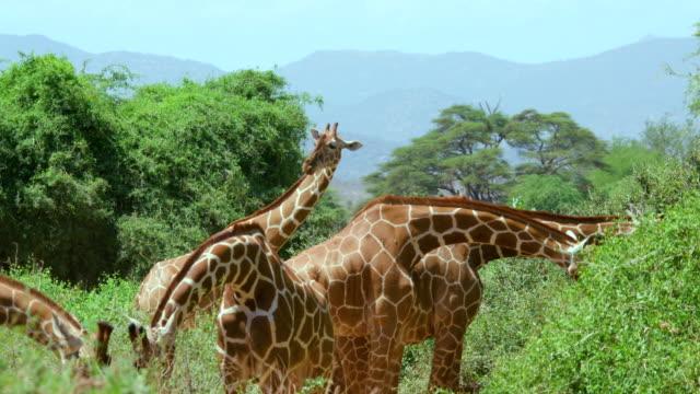 vídeos de stock e filmes b-roll de reticulated giraffes grazing samburu  kenya  africa - cinco animais