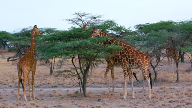 reticulated giraffes grazing samburu  kenya  africa - füttern stock-videos und b-roll-filmmaterial