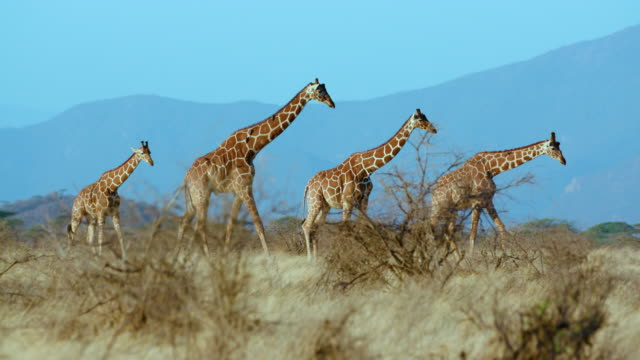 reticulated giraffes walking samburu  kenya  africa - four animals stock videos & royalty-free footage