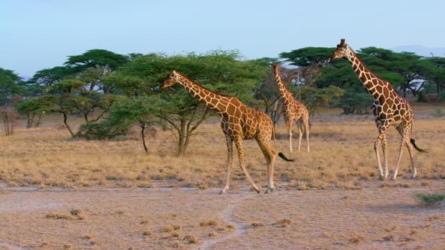 vídeos de stock, filmes e b-roll de reticulated giraffes walking samburu  kenya  africa - girafa