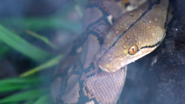 44 Reticulated Python Video Clips & Footage - Getty Images
