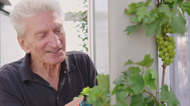retired man inspecting leaves of a grape wine in garden - improvement stock videos & royalty-free footage