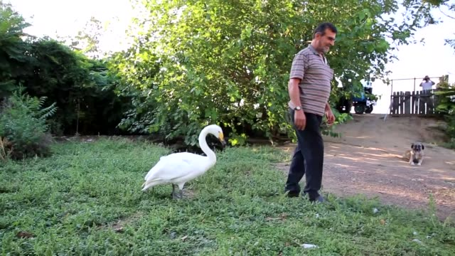 A retired postman in northwestern Turkey has formed an unusual bond of friendship with a swan he rescued more than three decades earlier Recep Mirzan...