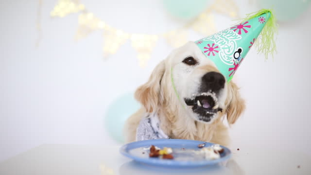 retriever dog celebrating his birthday - compleanno video stock e b–roll
