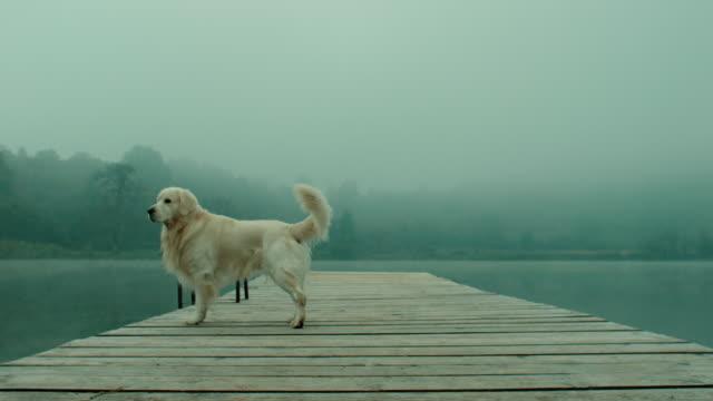 vidéos et rushes de chien retriever sur la jetée - nez d'animal