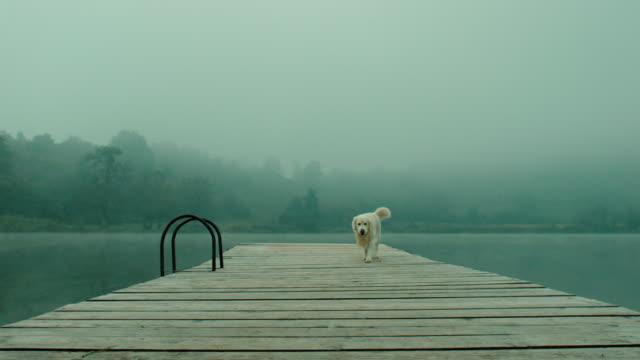 retriever dog on pier - pier stock videos & royalty-free footage