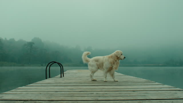 retriever dog on pier - ponte di una nave video stock e b–roll