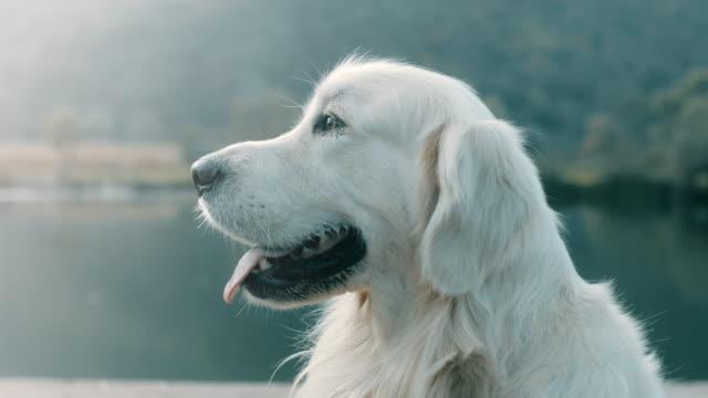 retriever dog - animal head stock videos & royalty-free footage