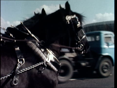 essex ext shires drawn brewery dray along road shires breeder denys benson grooming shire horse horse led in yard followed by another horses' heads... - breeder stock videos and b-roll footage