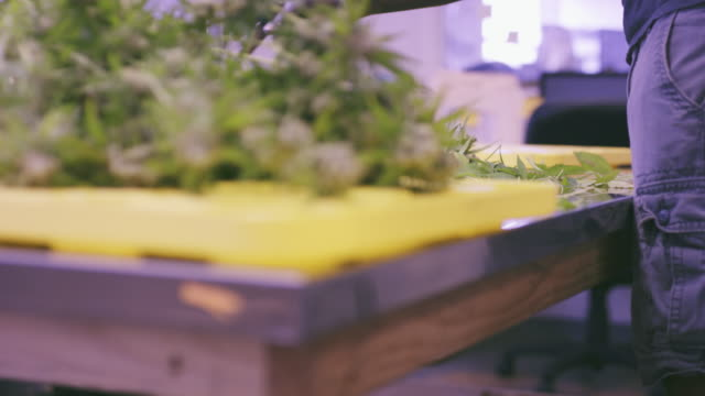 4K UHD: Reveal of Marijuana Plants being Trimmed
