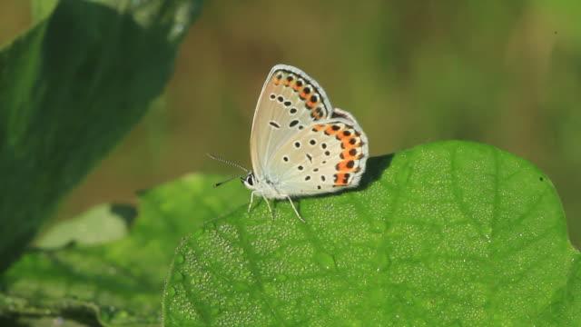 reverdin's blue butterfly (plebejus argyrognomon) - gliedmaßen körperteile stock-videos und b-roll-filmmaterial