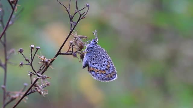 reverdin's blue butterfly (plebejus argyrognomon) - zweig stock-videos und b-roll-filmmaterial