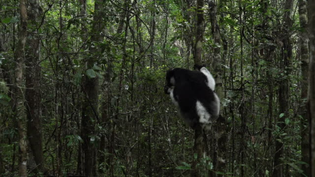 reverse shot of an indri lemur eating whilst hanging on to a tree trunk in madagascar - インドリ点の映像素材/bロール