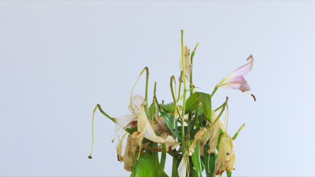 a reverse time lapse of a large bunch of oriental lilies as they spring back to life from the dead. - decay stock videos & royalty-free footage