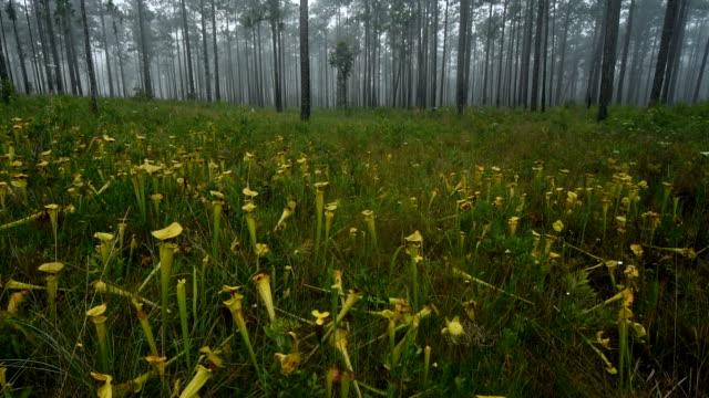 vídeos y material grabado en eventos de stock de inversión de tiro en campo de plantas de jarra en la niebla de la mañana - planta pitcher
