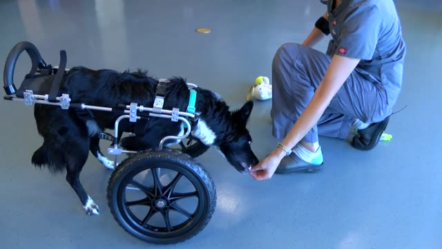 Rex a oneyearold Border Collie mix born with deformed front legs is getting increased mobility with a prosthetic cart from the Denver Animal...