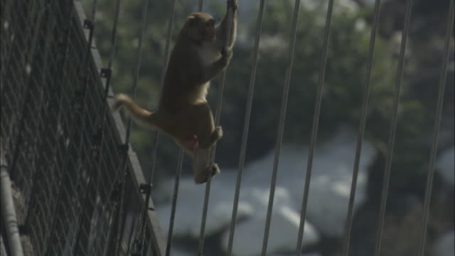 rhesus macaque climbs down bridge cable, rishikesh, india available in hd. - macaque stock videos and b-roll footage