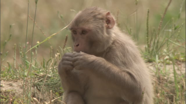 rhesus macaque eating wheat in field, chopta, india available in hd. - apparato digerente animale video stock e b–roll