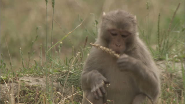 rhesus macaque eats wheat in field, chopta, india available in hd. - crop stock videos & royalty-free footage